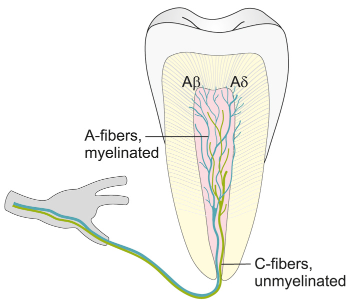 illustration showing the distribution of intradental a- and c-fibers